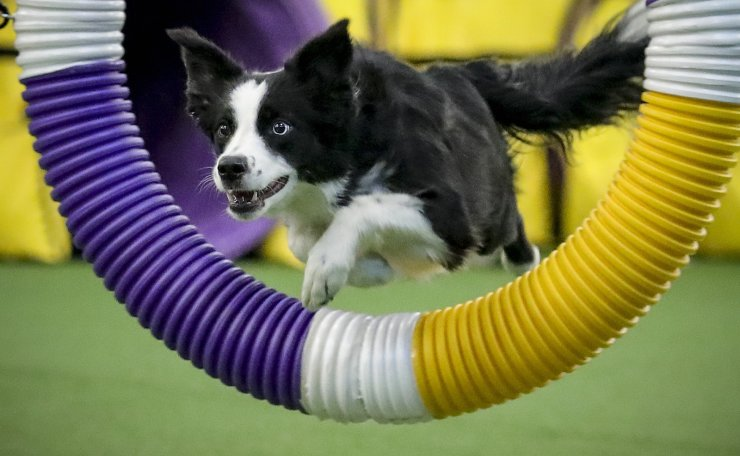 Pink the border collie leaps through a course obstacle en route to winning the Westminster Kennel Club's agility title Saturday Feb. 8, 2020, in New York. Pink's win extends an all-but sweep for border collies in agility's seven years at Westminster, save for an Australian shepherd's 2016 win. AP