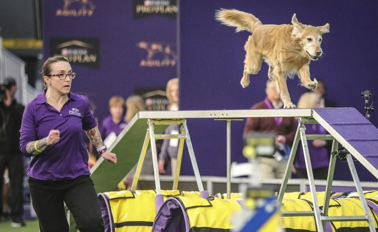 Dog handler Grace Buzanoski runs with her golden retriever Punk through an obstacle course during the Westminster Kennel Club's agility competition, Saturday Feb. 8, 2020, in New York. AP
