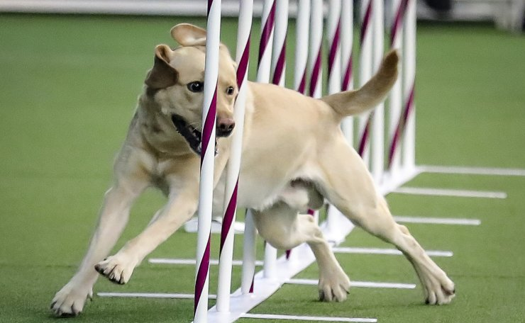 Tag, a Labrador retriever weaves, through a series of poles during Westminster Kennel Club's agility competition Saturday Feb. 8, 2020, in New York. AP