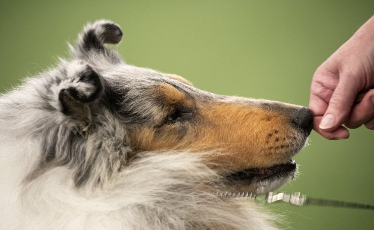 A Rough Collie competes at the Westminster Kennel Club Dog Show on Sunday, Feb. 9, 2020, in New York. AP