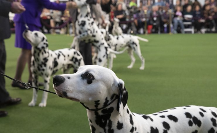 Dalmatians compete at the 144th Westminster Kennel Club dog show, Monday, Feb. 10, 2020, in New York.  AP