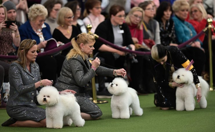 A group of Bichon Frise compete in the 144th annual Westminster Kennel Club Dog Show on February 10, 2019 in New York City. AFP