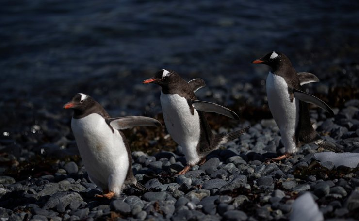 A group of gentoo penguins walk along Quentin Point, Anvers Island, Antarctica, February 4, 2020. Reuters