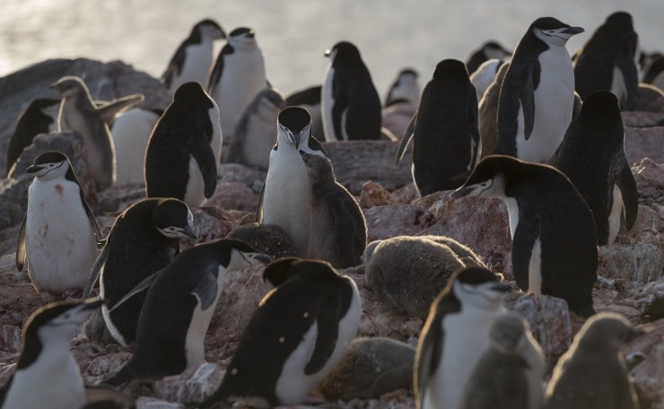A handout photo made available by Greenpeace shows a group of chinstrap penguins on Elephant Island, Antarctica 11 February 2020. The population of chinstrap penguins fell by up to 77% in some Antarctic colonies in the last fifty years, with an average depopulation of around 60%, the Greenpeace environmental organization said Tuesday. EPA
