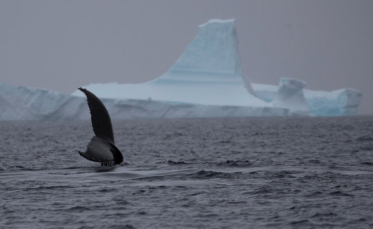A whale swims near an iceberg near Two Hummock Island, Antarctica, February 2, 2020. Picture taken February 2, 2020. Reuters