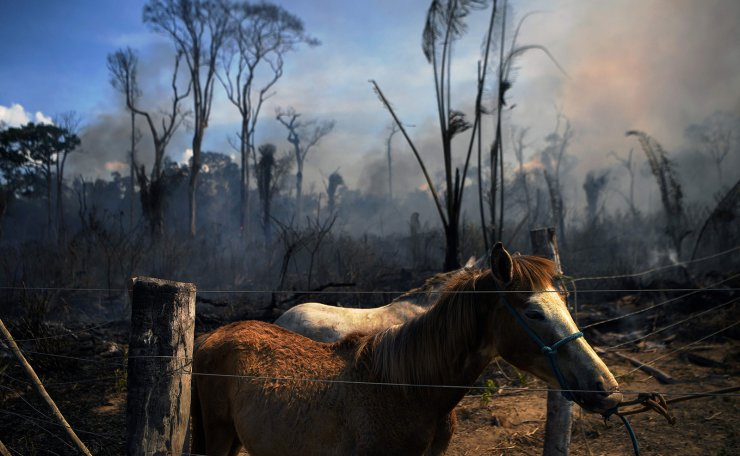 A donkey stands tied up next to a burnt area of Amazon rainforest reserve, south of Novo Progresso in Para state, on August 16, 2020. AFP