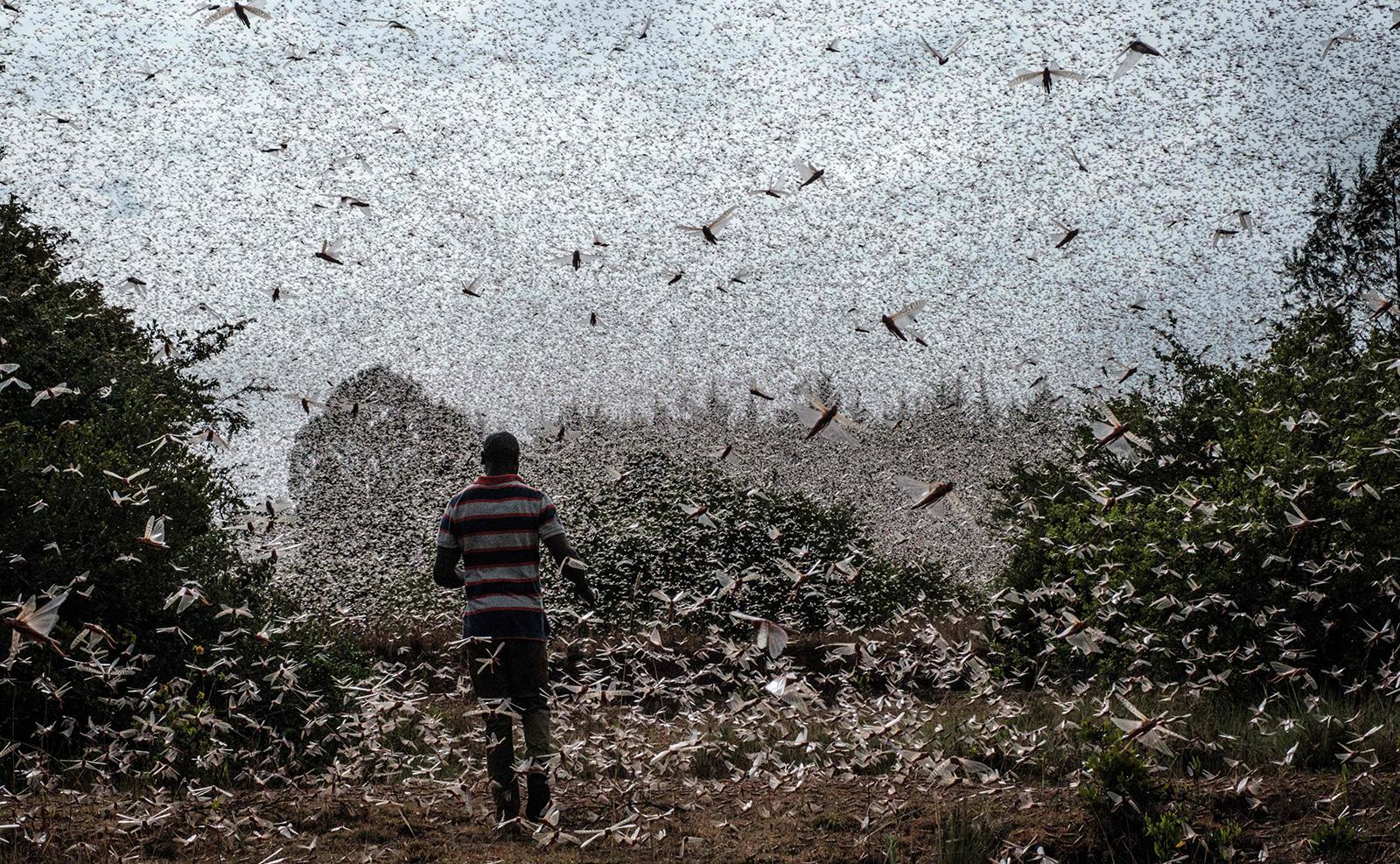 A picuture taken on February 9, 2021, shows a local farmer walking in a swarm of desert locust in Meru, Kenya. AFP