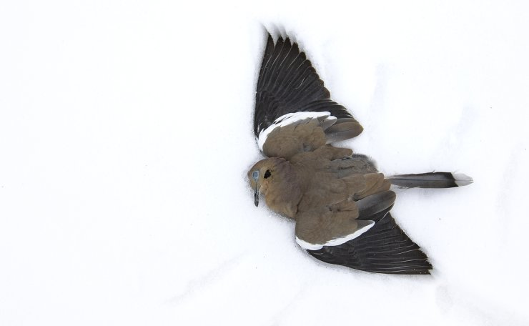 A white-winged dove lies dead in the snow on 17th Street Tuesday, Feb. 16, 2021, in Odessa, Texas. Many residents and businesses were left without power following a weekend of below freezing temperatures in Midland and Odessa. AP