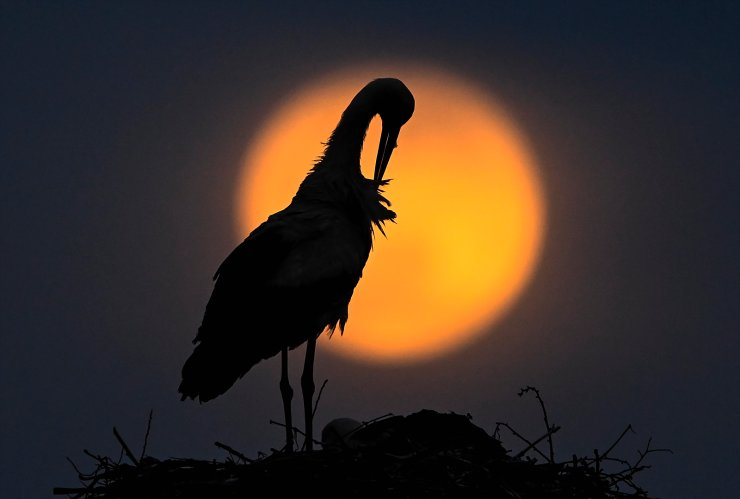 The Super Pink Moon rises behind the stork in a nest in the village of Rzanicino near Skopje, Republic of North Macedonia, 26 April 2021.  The super full moon is named this way because it is at its closest to earth and thus appears bigger than a normal full moon. EPA