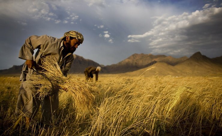 In this June 24, 2010 file photo, farmers harvest wheat outside Kabul, Afghanistan. AP