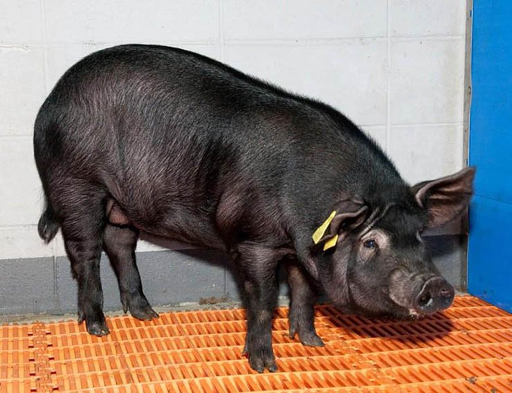 Cloned demented pig 'JNUPIG' / Courtesy of Jeju National University Stem Cell Research Center