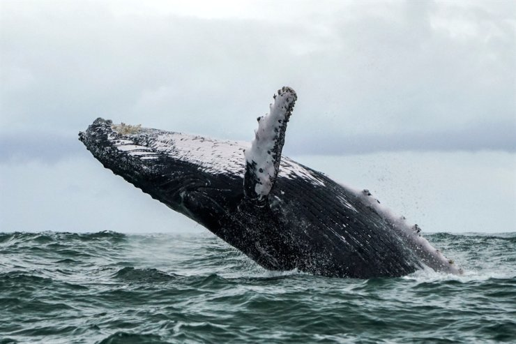 In this Aug. 12, 2018, file photo, a humpback whale jumps in the surface of the Pacific Ocean at the Uramba Bahia Malaga National Natural Park, Colombia. A U.S. lobster fisherman says he was scooped into the mouth of a humpback whale and yet lived to tell the story. AFP-Yonhap