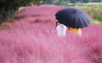 Pink muhly blossoms