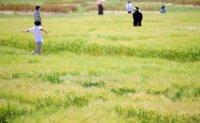 Barley ripening in spring [PHOTOS]