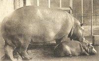 Plenty of hanky panky: Hippos of Seoul zoo popular, profitable