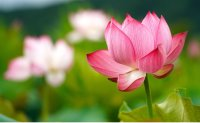 Colorful lotuses in full bloom [PHOTOS]