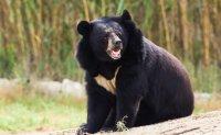 Escaped bears expose problems of inhumane bile farming in Korea