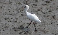 Endangered black-faced spoonbill saved in Korea returns home from China