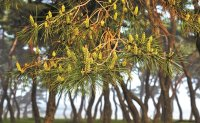Conifer trees are dispersing pollen earlier due to climate change