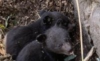 Six Asiatic black bear cubs born in Jirisan National Park this year
