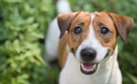'Puppy eyes' evolve to appeal to humans