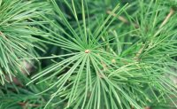 New technology allows pine needles to measure air pollution