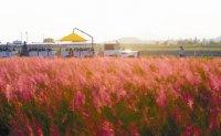Pink muhly gardens emerging as hot tourist destination