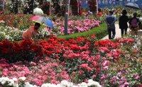 Roses in full bloom [PHOTOS]