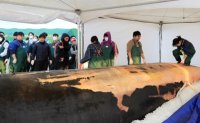 Autopsy on 12.6-meter-long whale performed on Jeju Island