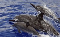Swimming with Hawaii's nocturnal spinner dolphins banned