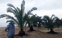 Controversy rises over palm tree photo zone on Gyeongpo Beach