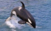 Korea to designate killer whale as protected species