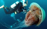 Gov't issues warning over increasing number of jellyfish in southern waters