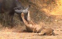 아기 물소 건드렸다 혼쭐나는 사자들