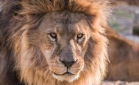 Lions maul man to death at wildlife reserve in South Africa