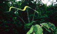 Secret of flying snakes unveiled