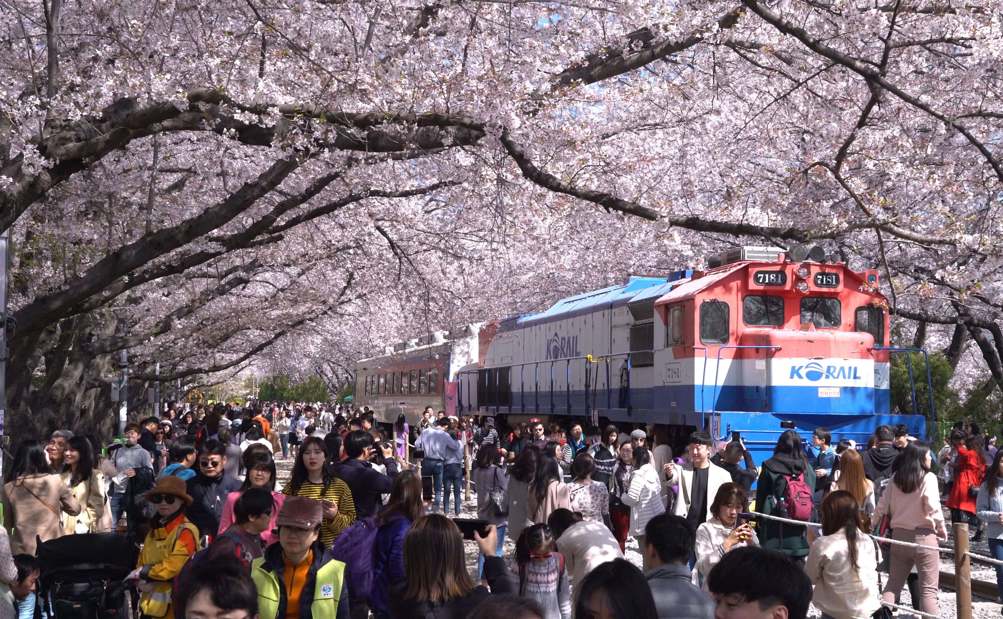 Day trip to Gunhangje, Korea's largest cherry blossom festival